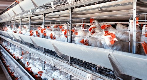 Largest-ever study on welfare of chickens raised for meat confirms suffering for billions of 'rapid growth' birds