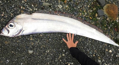 Rare deep sea fish found after washing ashore in BC